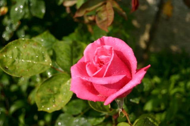 Première rose jardin