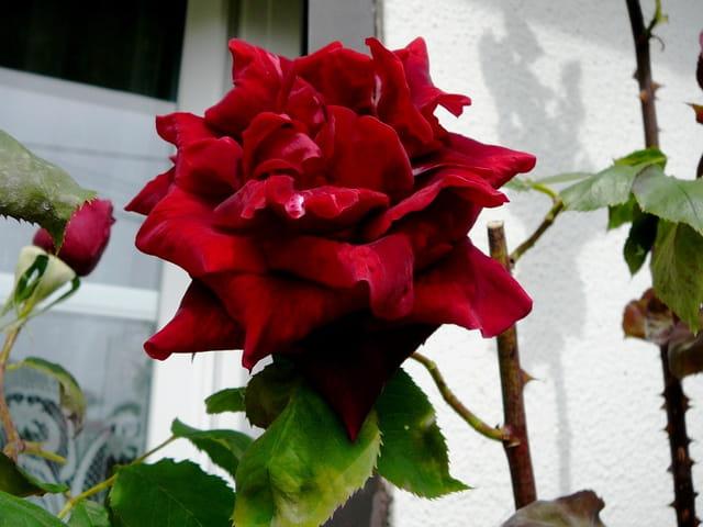 Première rose Papa Meilland de la saison 2008