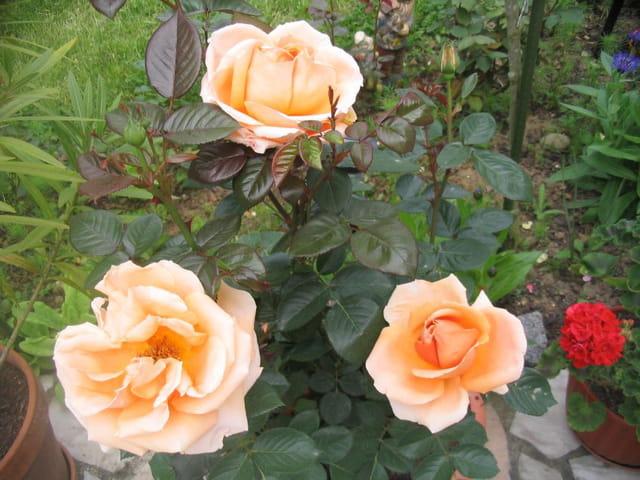Premières roses 2006