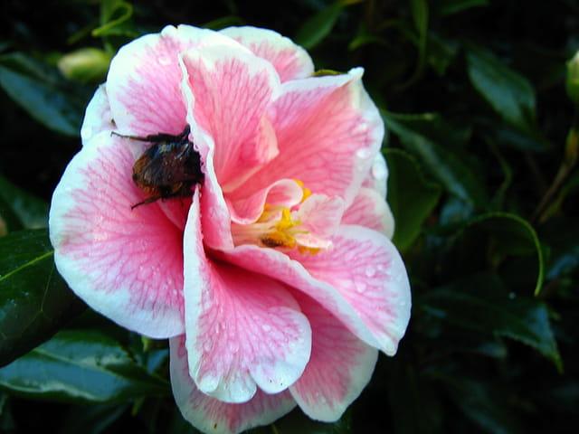 Profil de camélia et bourdon