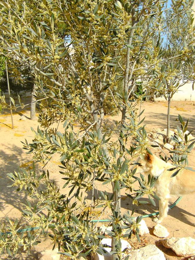 Promesse de récolte d'olives