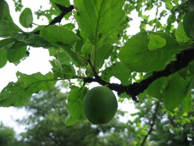 Prune naissante