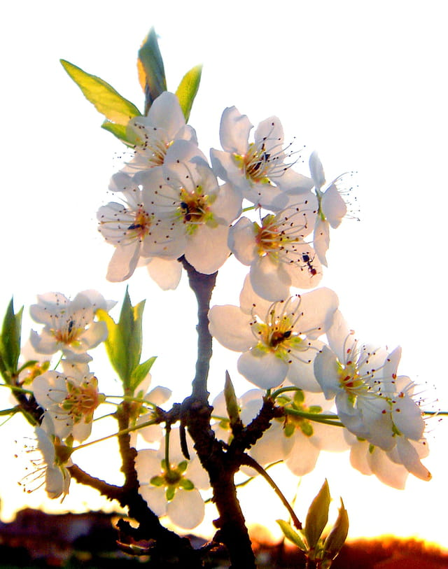 Pruniers en fleurs...