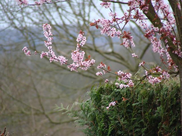 Prunus effets papillons