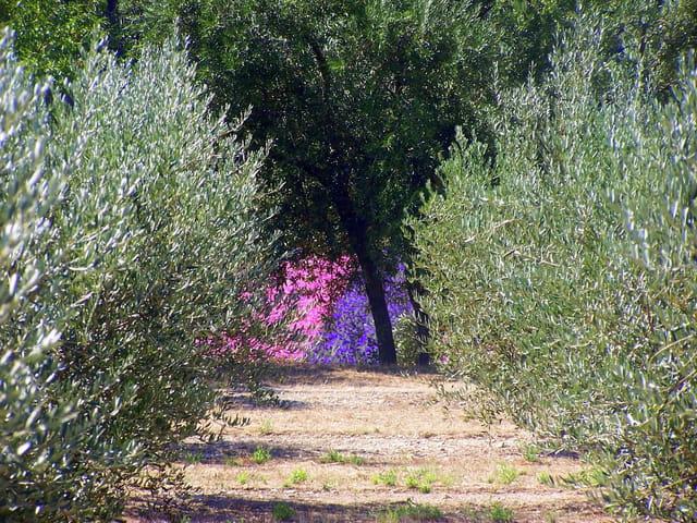 Quand les oliviers cotoient les fleurs....