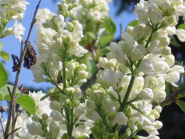 Quand refleuriront les lilas blancs