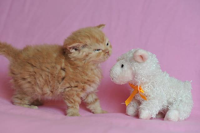 Quand un chat mouton rencontre un mouton