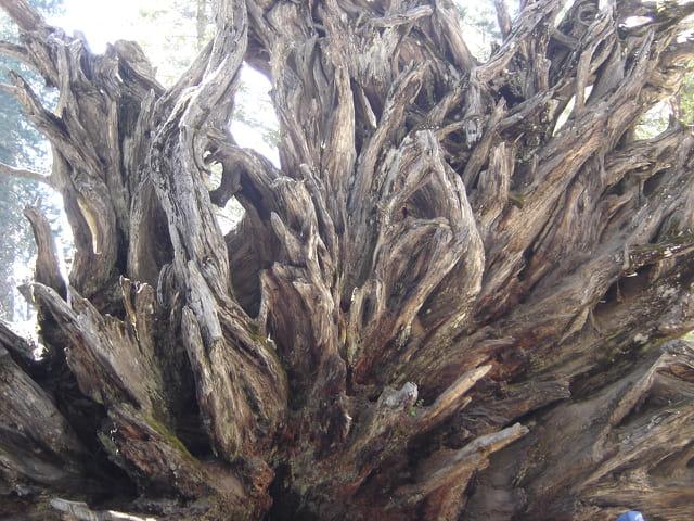 Racines sequoia geant