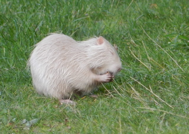 Ragondins albinos
