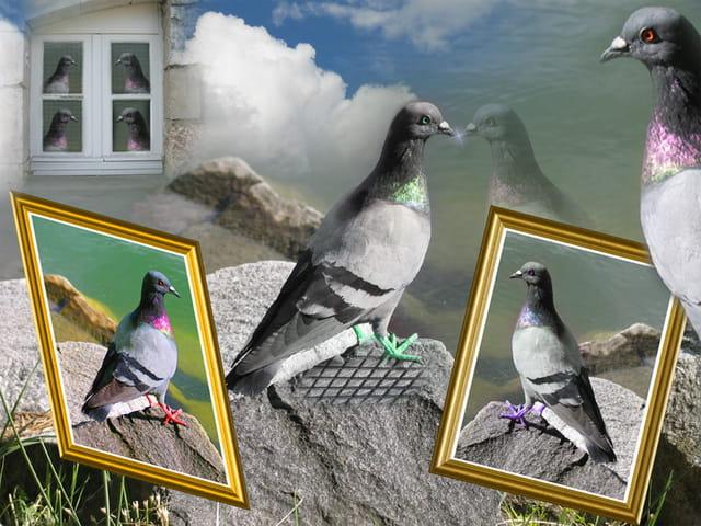 Reflet d'un pigeon