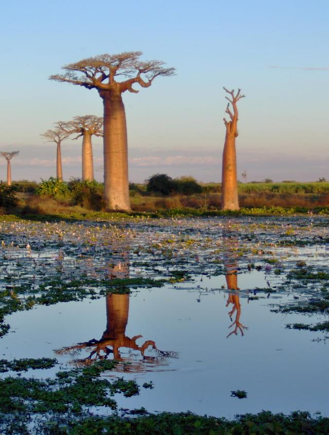 Reflet de Baobab