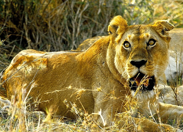Regard dissuasif d'une lionne dominante...