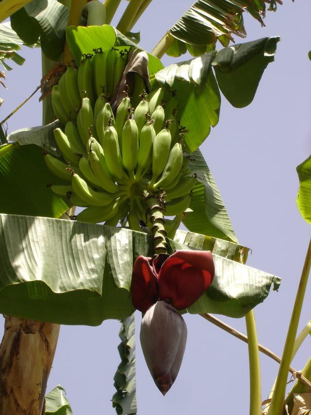 Règime de bananes