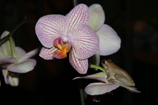 Reinette sur orchidée