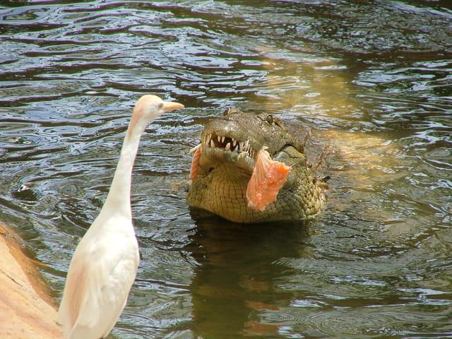 Rencontre avec un crocodile