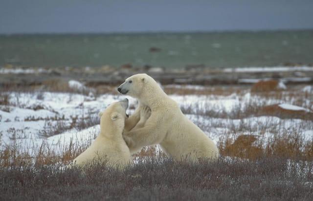 Rencontre de deux ours mâles