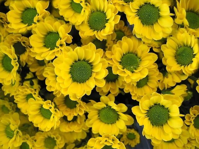Renoncules jaunes