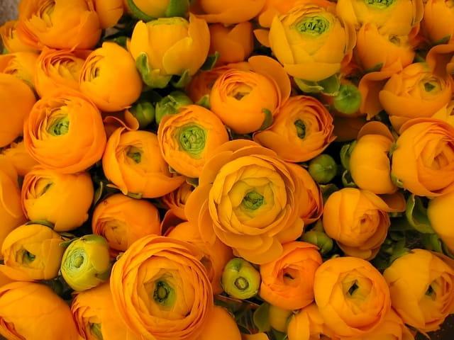 Renoncules oranges