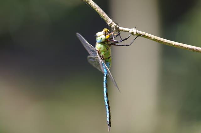 Repas d'une libellule