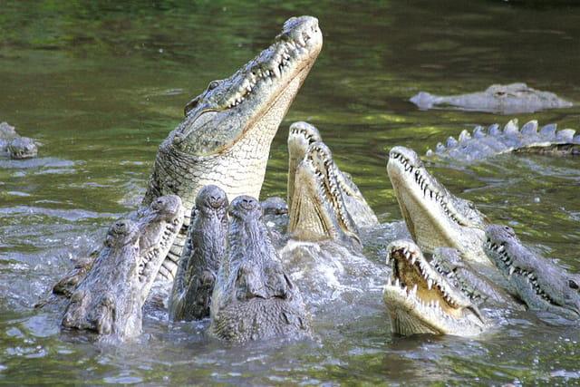 Repas de crocodiles
