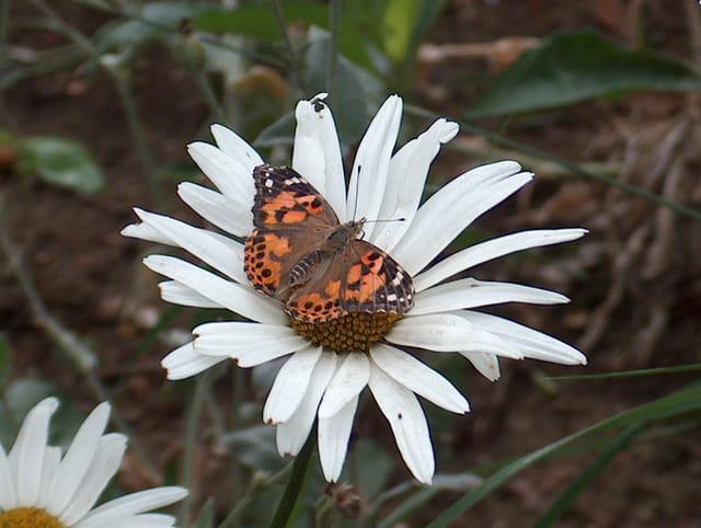 repas de papillon