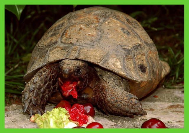 Repas de tortue