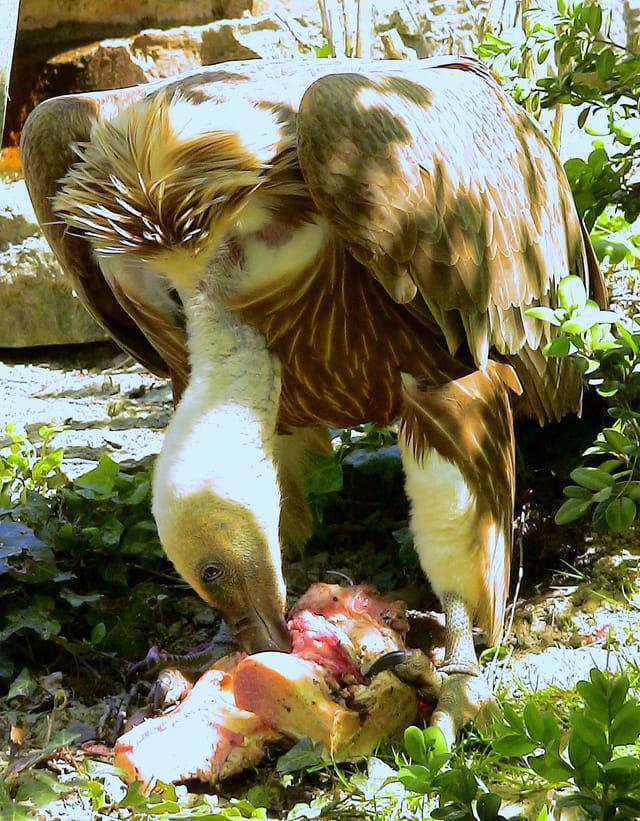 Repas du vautour fauve