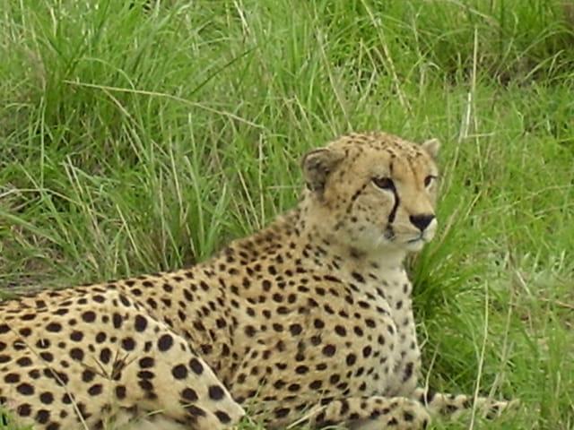Repos du guépard