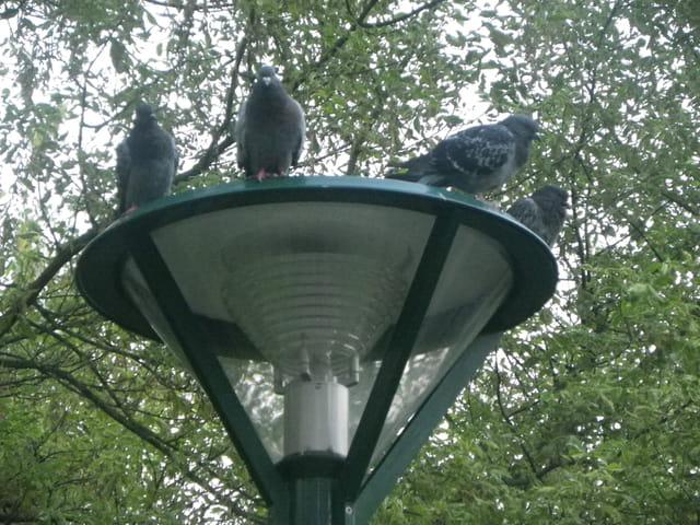 Reposoir à pigeons