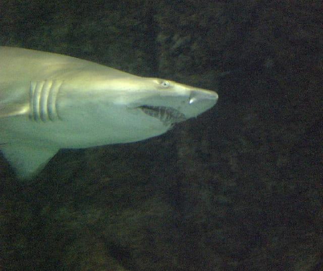 Requin !