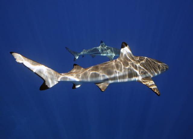 Requin dans le Bleu