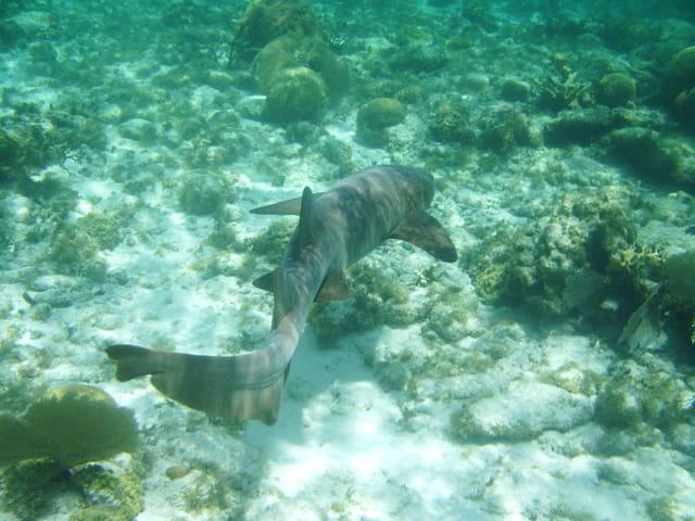 Requin nourrice part...