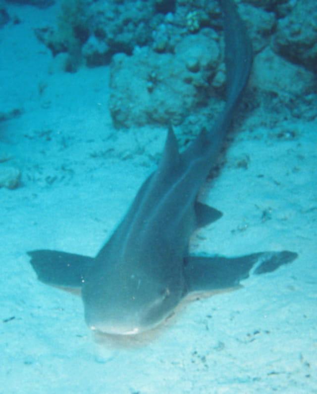 Requin nourricier