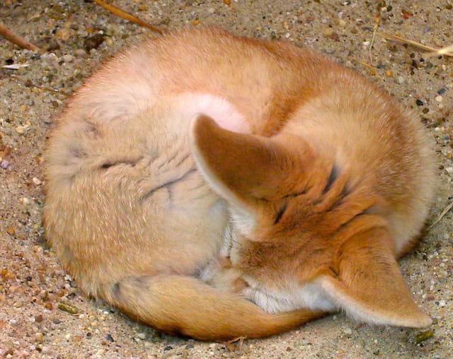 rêve de renard