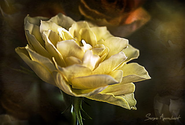 Rêve de Rose