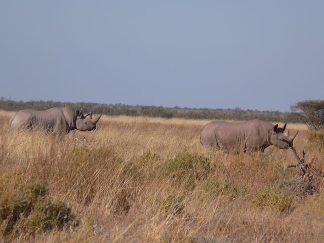 Rhinocéros en duo