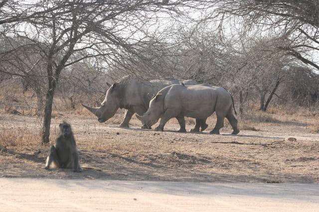 Rhinocéros et babouin