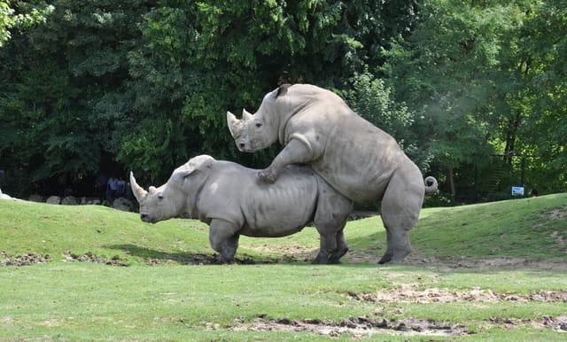 Rhinos en folie