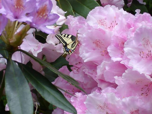 Rhododendron et machaon