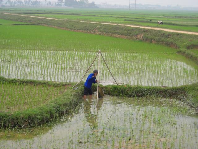 Rizière dans la région d' Hanoï�