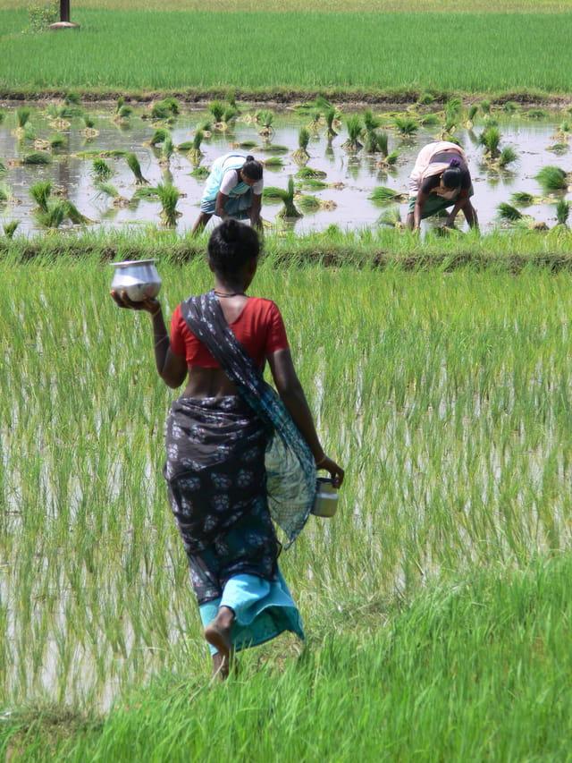 Rizières du Tamil Nadu