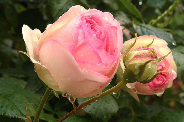 Rosa pierre de ronsard par pierre bourgeois sur l 39 internaute for Pierre de ronsard rosa