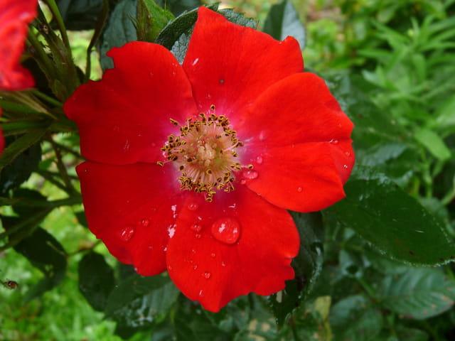 "Rose""14 juillet"""
