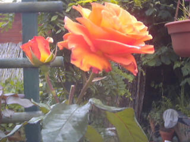 Rose ...!