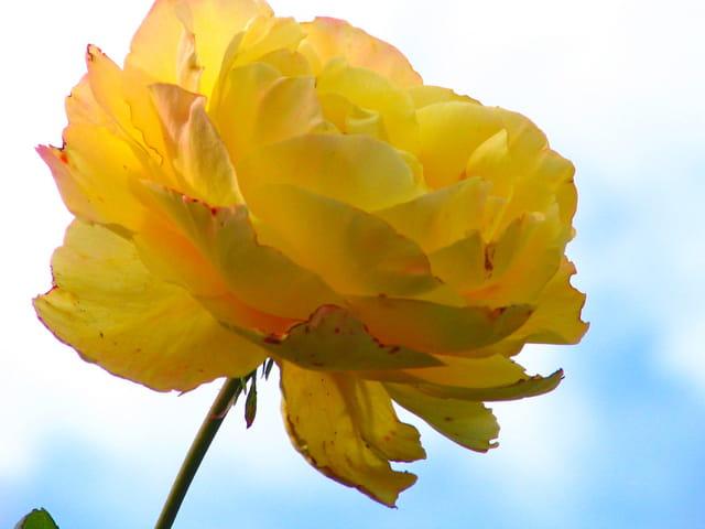 Rose à ciel ouvert