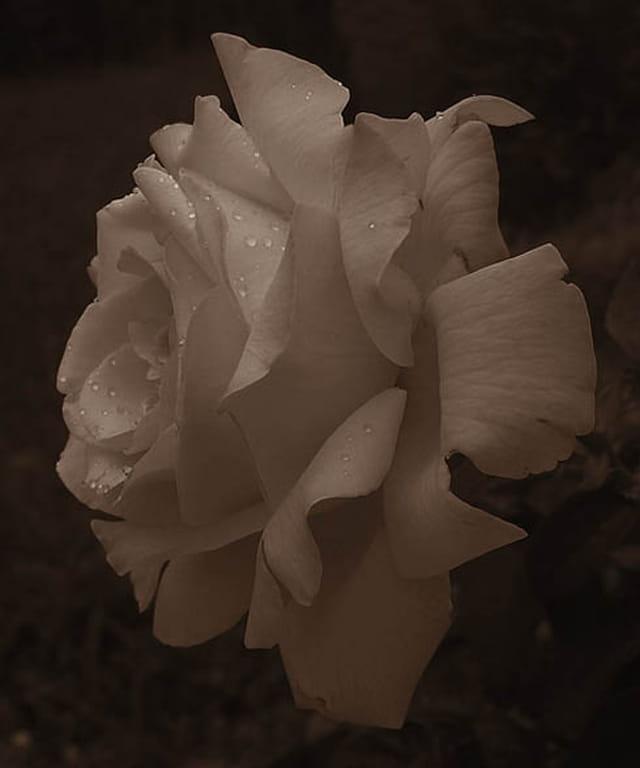 Rose à  fond noir