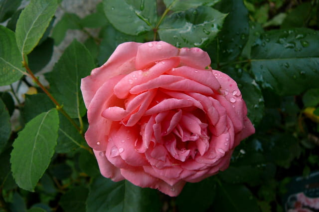 """Rose """"Amelia Renaissance"""""""
