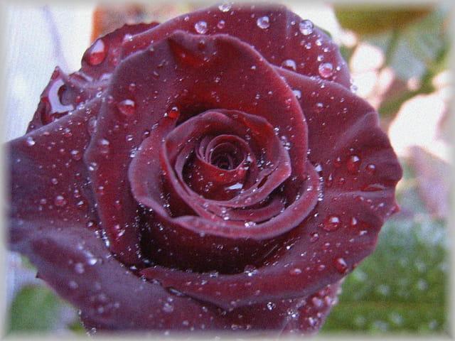 Rose après l'ondée.
