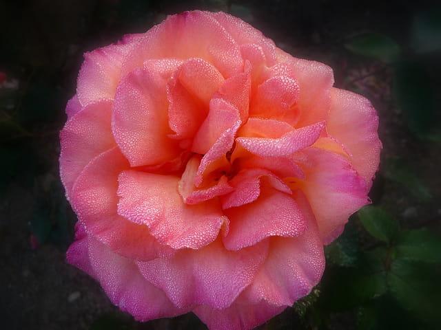 Rose au petit matin