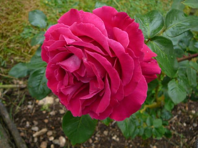 """Rose """"Baronne Ed. de Rothschild"""""""